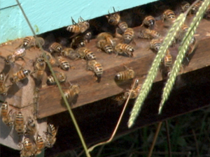 photo_honeybees