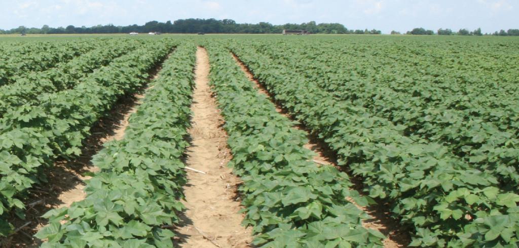 Resilient cotton
