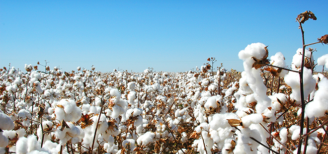 cotton farming one grower publications