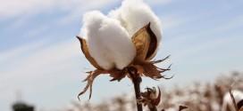 Farm-To-Fashion Approach  Tracks Cotton Movement