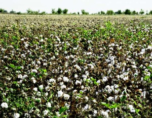 Jan 2015 Cotton Farming_Page_12_Image_0001