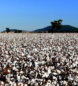 Jan 2015 Cotton Farming_Page_14_Image_0002