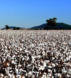 Jan 2015 Cotton Farming_Page_14_Image_0002