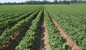 Having clean fields is the ultimate goal for producers as they continue to deal with weed resistance.