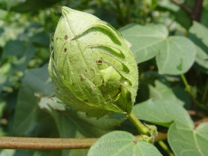Cotton Boll Damaged by Stinkbugs