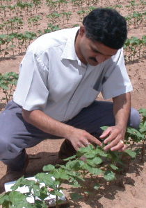 Texas AgriLife Extension entomologist Megha Parajulee checks for thrips during routine scouting of fields.