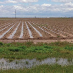 Texas High Plains cotton