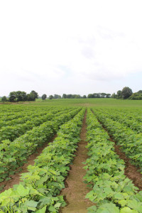 Jason Luckey's Cotton Field in West Tennessee