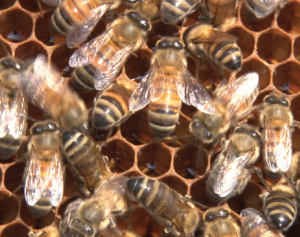 Protecting the bees that pollinate America's cotton