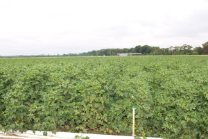 Despite overcast skies and occasional showers, the RR Xtend Flex cotton looked good in Scott, Miss.