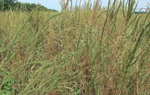 Resistant pigweed will continue to be a major priority in cotton production.