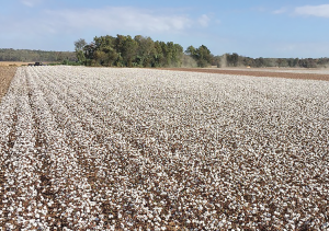 The blanket of white viewed from the cab of the cotton picker last fall looked more like a scene from a Texas or Arizona cotton field to the Taylors.