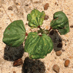 Thrips Damage on Cotton Plant