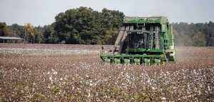 The pesticide, aldicarb, is making a comeback to control insect pests and nematodes in cotton. Registered under the trade name AgLogic 15G, this new product is expected to equal Temik.