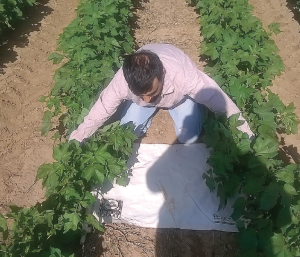 Dr. Abdul Hakeem, postdoctoral scientist at Texas AgriLife Research and Extension Center-Lubbock, samples for fleahoppers in a Texas cotton field.