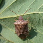 stink bug on cotton