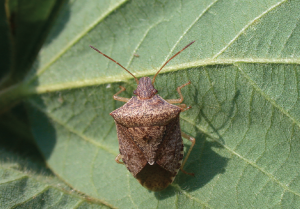 In South Carolina, a pyrethroid spray is recommended to control stink bugs and take advantage of the insecticide's residual control of any bollworms that escape the Bt technology.
