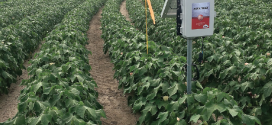 Irrigating Cotton With Sensors