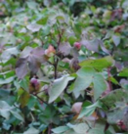 Fig. 4: Cooler temperatures noted late in the year commonly contribute to the development of red or purple leaves. Impacted leaves are most commonly mature and located on the outermost regions of the plant.