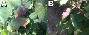 Fig. 5 (A&B): Wind may flip leaves exposing the abaxial side to direct light. When this occurs, anthocyanin production is increased as a method of dissipating excessive light energy and protecting cellular structures. This response is also visible in Fig. 1.