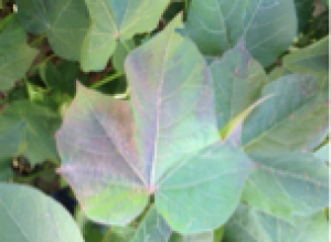 Fig. 6: Anthocyanin occasionally becomes visible in the sunlit portion of the adaxial side of leaves located on the outer regions of the canopy in response to excessive radiation.