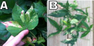 Fig. 7 (A&B): Specific genetic mutations called chimera are occasionally noted in the cotton leaves and bracts and may cause anthocyanin in localized areas to become more evident.