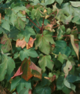 Fig. 11: Bronze wilt is a disorder in cotton which results in a reddening of the upper canopy.  Photo courtesy: Dr. Owen Gwathmey