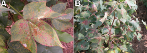 Fig. 12 (A&B): Spider mite injury may first appear as white or yellow stippling but can increase the visibility of anthocyanin, especially under dry conditions.  Interveinal areas near the center of the leaf or at leaf folds are typically impacted.  Photos courtesy: Dr. Scott Stewart