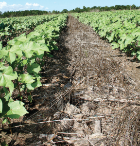 Corn and rye residue are part of a conservation tillage system on a farm near Hawkinsville, Ga.