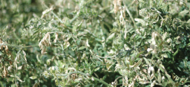 Research & Education Rotation, Cover Crops Impact Cotton Yields More Than Tillage
