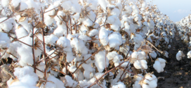 High-Quality Cotton Attracting Export Demand, Higher Prices
