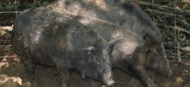Clemson's Know-How Helping  With Wild Hog Problem
