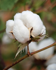 Texas cotton boll