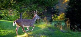 Evaluating And Managing Deer-Damaged Cotton