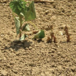 Fusarium race 4