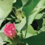 missouri cotton flower
