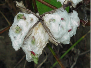 seed sprouting in cotton