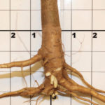 J root comptacted soils