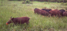 Innovative Tool Lets Landowners Report Wild Pig Activity, Damage