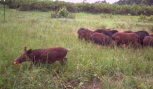 wild hogs texas
