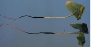 thelaviopsis basicola