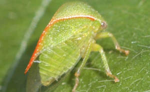 Threecornered alfalfa hopper