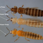 thrips species