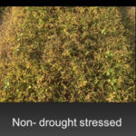 non-drought stressed pigweed