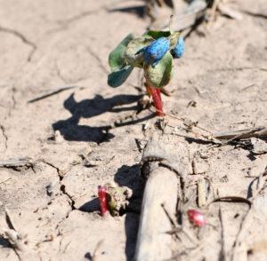 struggling cotton seedling