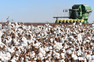 texas panhandle cotton