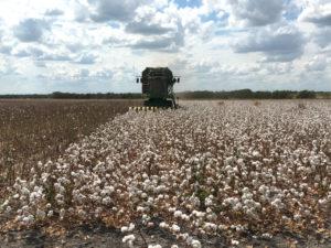 Navarro County, Texas, cotton harvest