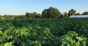 managing cotton growth