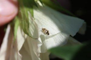 tarnished plant bug adult