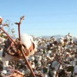 arizona cotton
